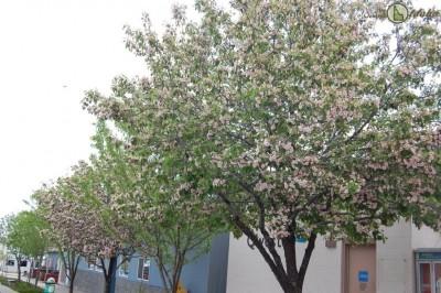 Spring blooms along Craigmont Idaho Main Street